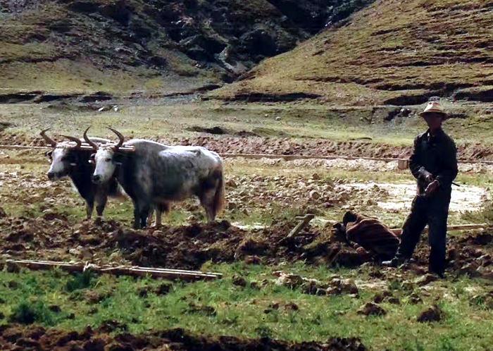 Tibetan farmer