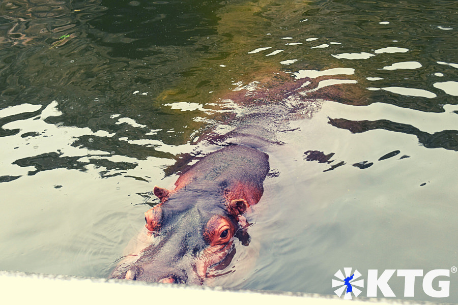 Hippo at Pyongyang Zoo. Visitors can get very close to the hippos at the Korea Central Zoo in North Korea, DPRK. Trip arranged by KTG Tours.