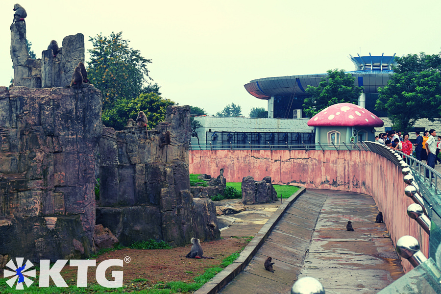 baboon monkeys at Pyongyang zoo in North Korea. Picture take by KTG Tours