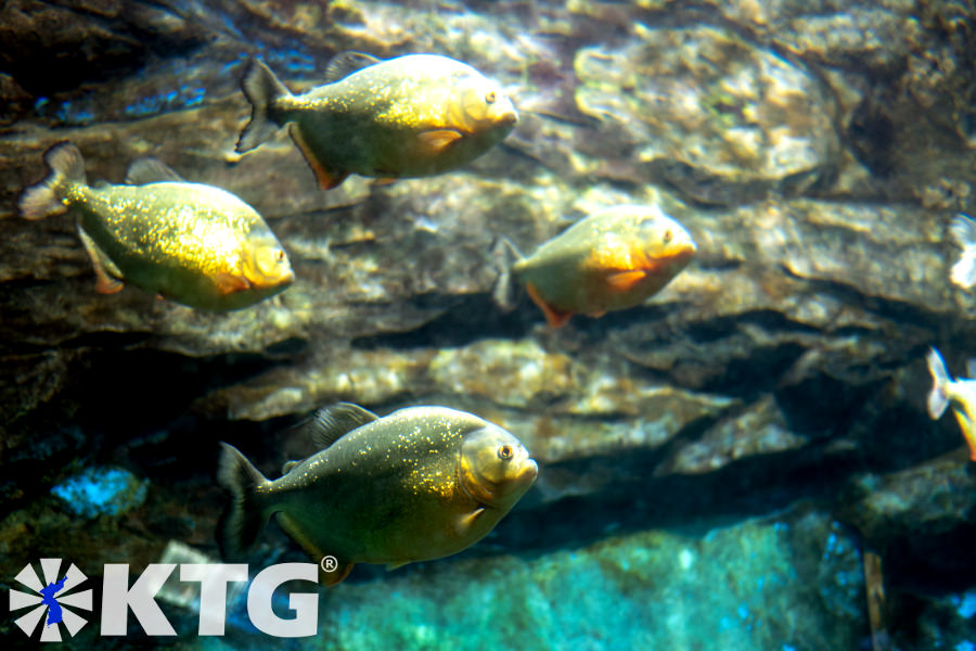 Piranhas at the aquarium of Pyongyang Zoo in North Korea. The official name of the zoo is Korea Central Zoo. Picture taken by KTG Tours